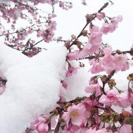Fleurs enneigées à Praz de Lys Sommand