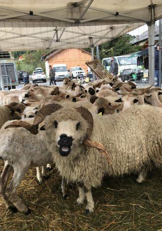 Moutons Foire d'Automne Mieussy