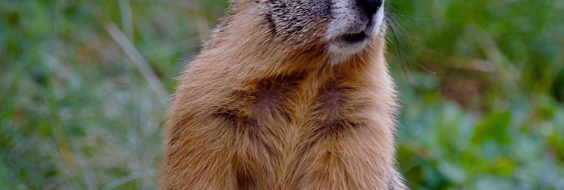 marmot-5249335_1920
